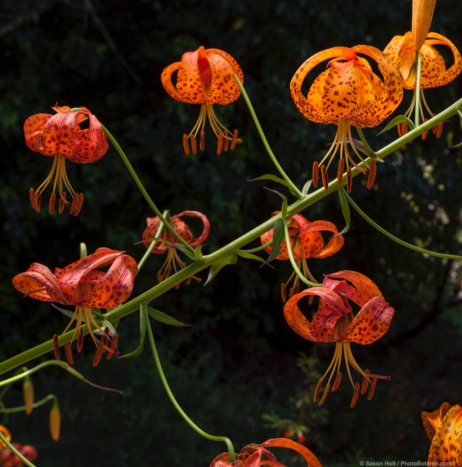 Lilium humboldtii ssp. ocellatum, Humboldt lily, orange flowering California native bulb