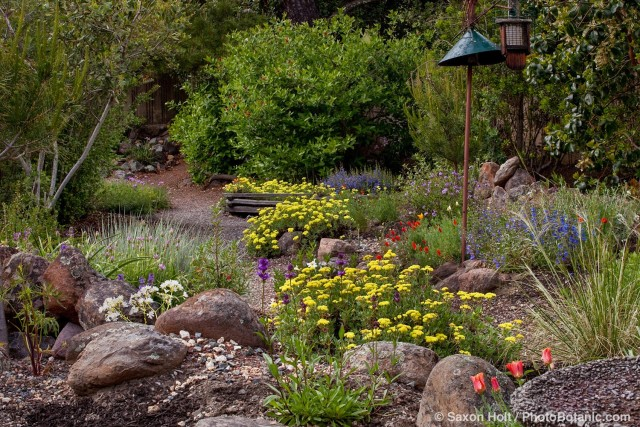 Repeated plantings of yellow flower yellow Sulfer Buckwheat (Eriogonum umbellatum) in mixed beds with native rock field stone in Kyte drought tolerant California native plant backyard garden design