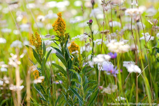 California native plant meadow