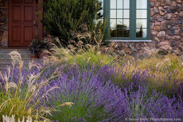 Front yard meadow garden with lavender and ornamental grass, Stipa gigantea, and Anemanthele lessoniana ; design Maile Arnold