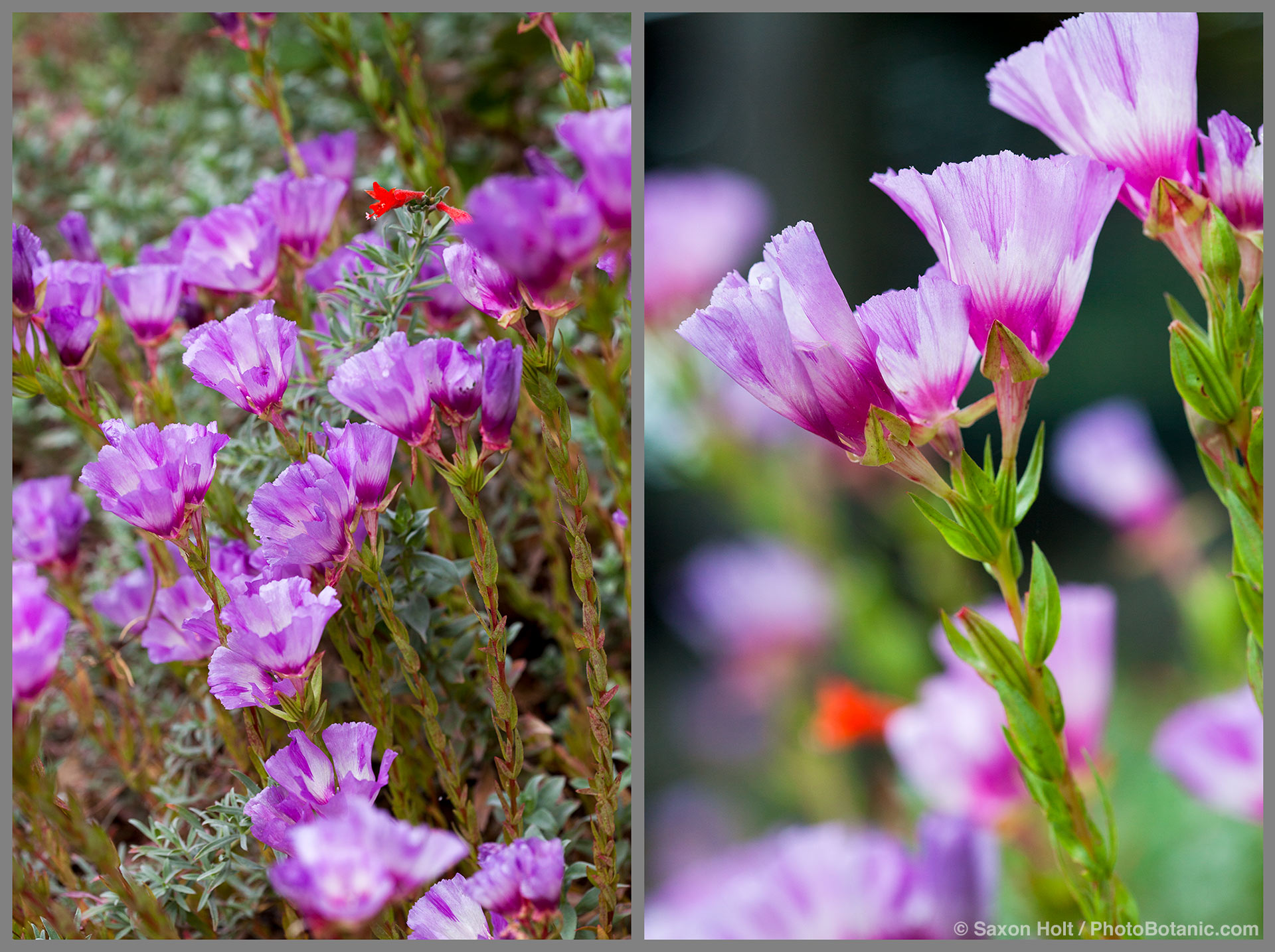 2 macro views of Clarkia williamsonii -