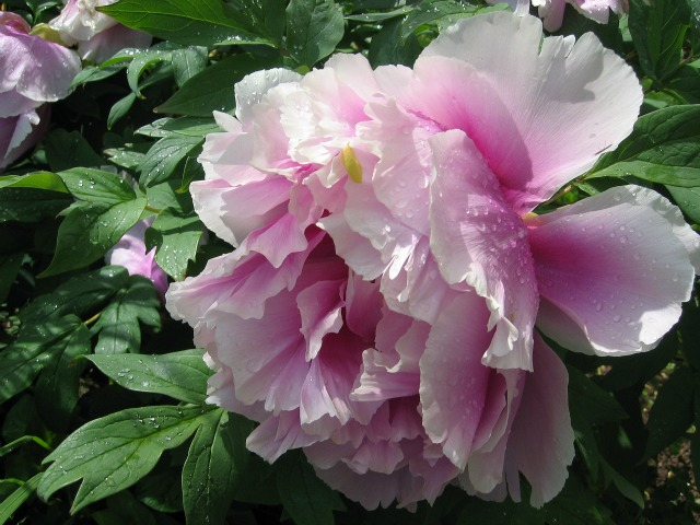 close up of peony