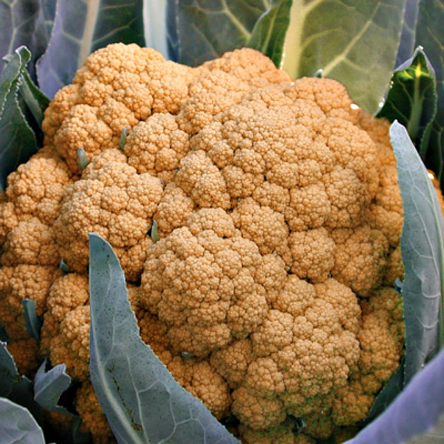 Territorial seed-Orange burst Cauliflower