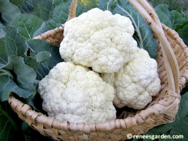 Cauliflower 'Amazing Taste'