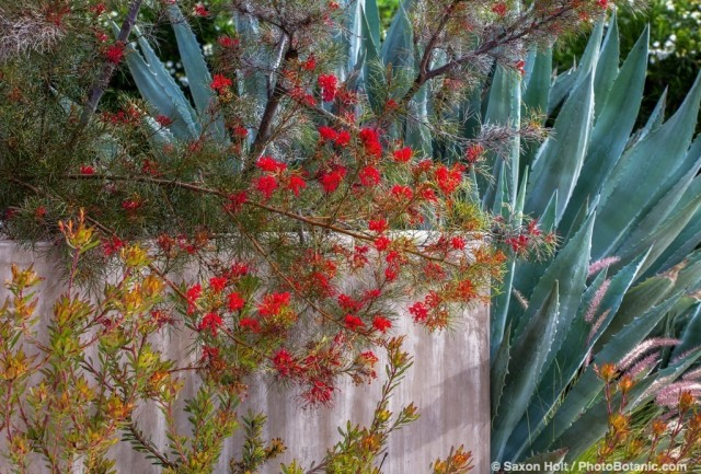 Grevillea 'Bonfire' red flowering shrub in California summer-dry garden with Agave and Leucadendron salignum by stucco wall; design Jo O'Connell
