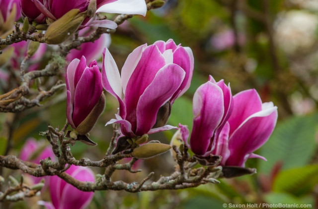 Magnolia soulangeana 'Picture', flowering dedicuous Saucer Magnolia tree in San Francisco Botanical Garden