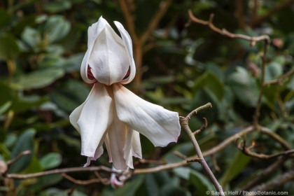 Magnolia campbellii 'Strybing White' flowering deciduous tree in San Francisco Botanical Garden