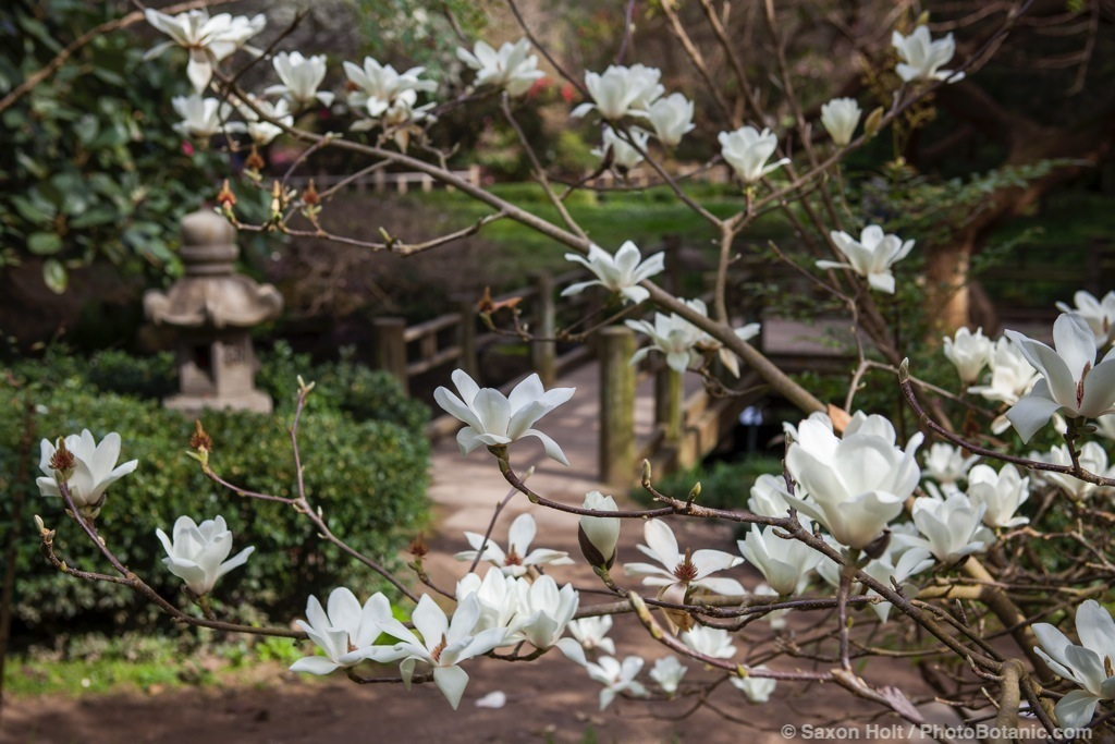 Magnolia denudata, Yulan Magnolia, white flowering winter tree in San Francisco Botanical Garden