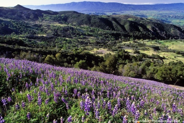 Southern California spring landscape with Lupine wildflowers and oak trees. Los Padres National Forest, Santa Ynez Valley in Santa Barbara County.