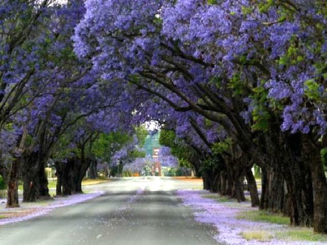 4e789c17ddb704662babd9f7f167f5b3.jpg-Jacaranda tree...from blog.asiantown.net.jpg-640x427