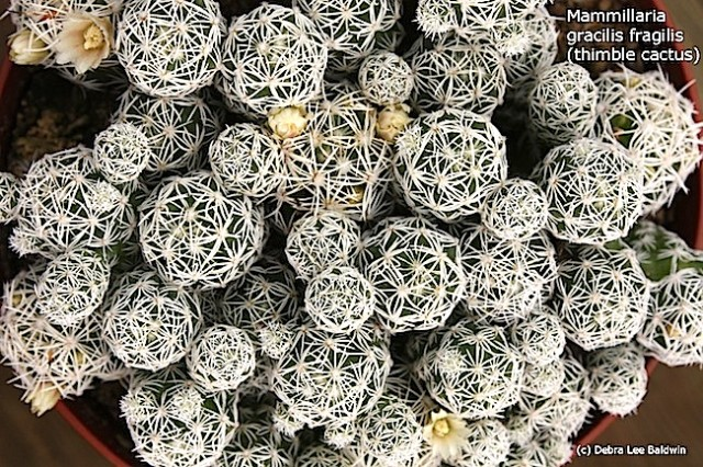 Mammillaria gracilis fragilis (thimble cactus) low res