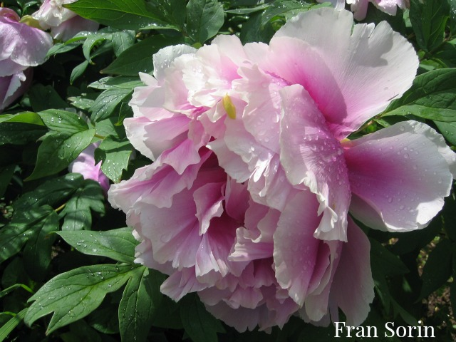 Peony close up in FSorin garden