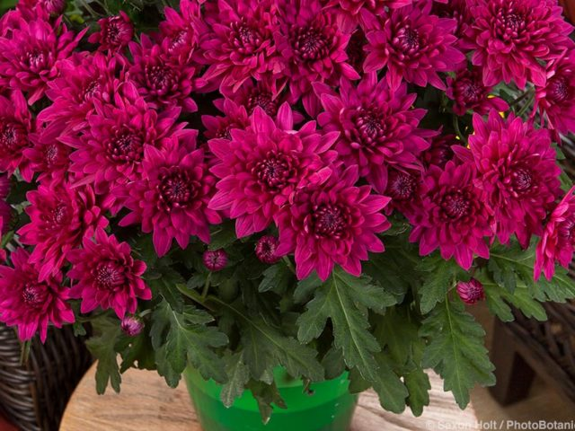 Williamsburg™ Purple, Chrysanthemum indicum potted flowers on patio plant stand; Licensed Photograph © Syngenta