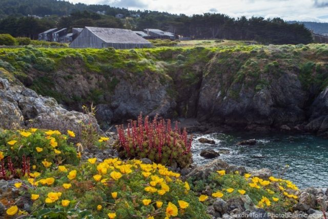 California native wildflowers on coastal bluff at Black Point - The Sea Ranch