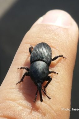 Agave snout weevil