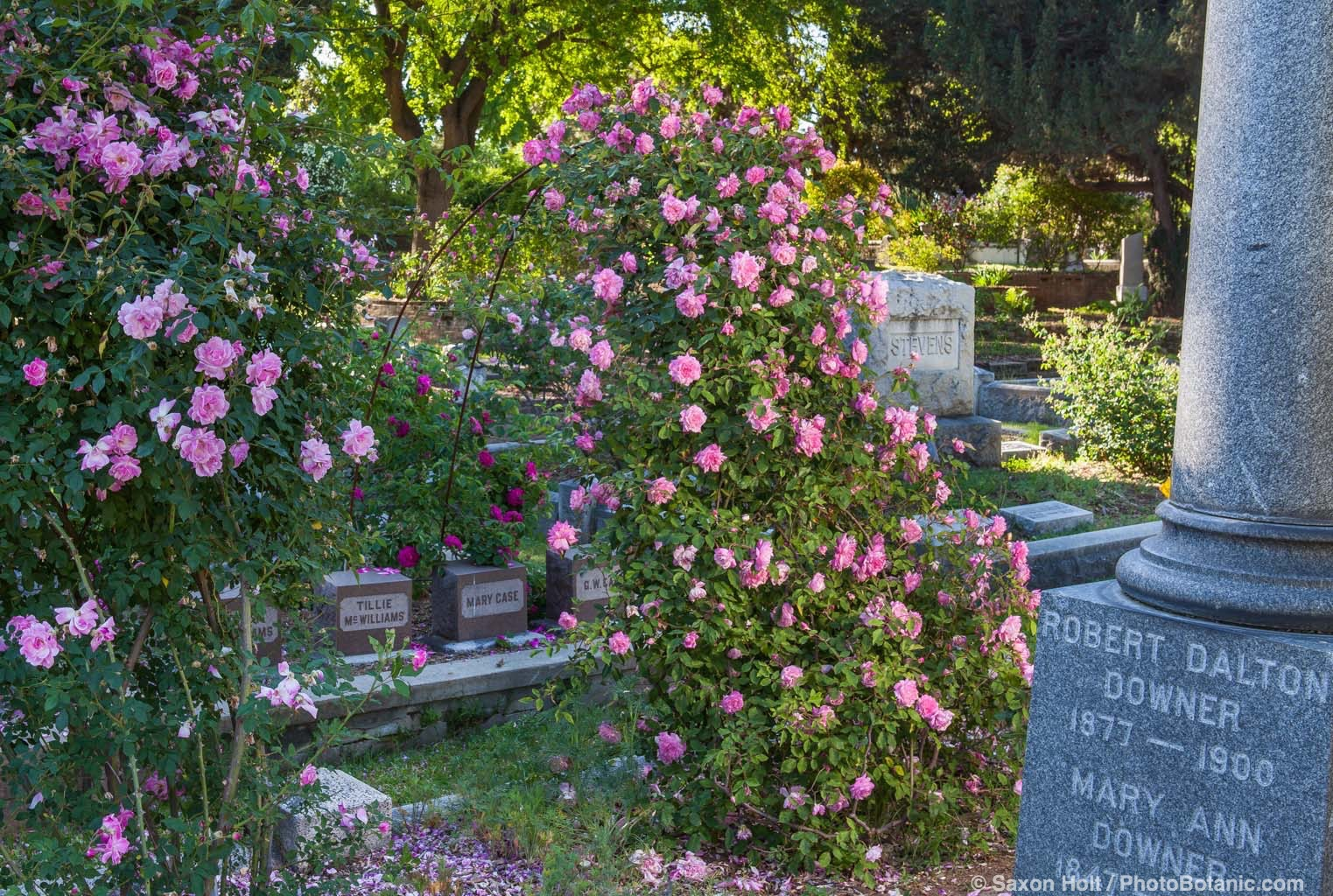 'Florence Bower's Pink Tea' Old roses in Sacramento Old City Cemetery