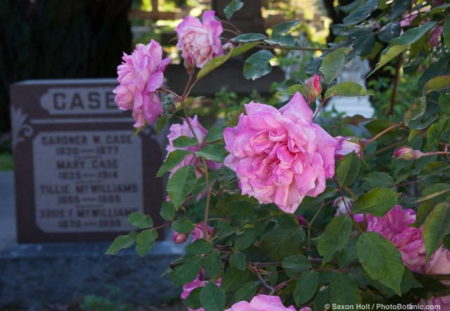 Old roses in Sacramento Old City Cemetery