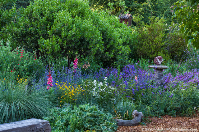 A trio of manzanita Arctostaphylos 'Dr. Hurd' in the background and a deep blue/purple pool of Nepeta 'Walker's Low' and Penstemon ' Catherine de la Mare' in the foreground of garden bee-friendly border. A few Crimson Salvia darcyi blooms enliven the scene; Kate Frey mixed border Garden