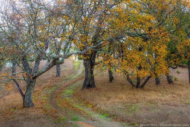 Quercus kelloggii, California Black Oak trees in autumn on Pinheiro Fire Road, Rush Creek Open Space, Marin County