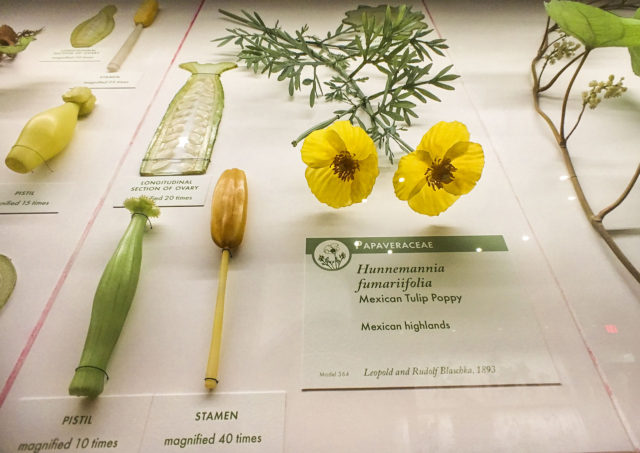 Glass Flowers Exhibit Harvard Museum of Natural History