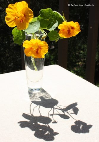 Nasturtiums, admiring their own shadows