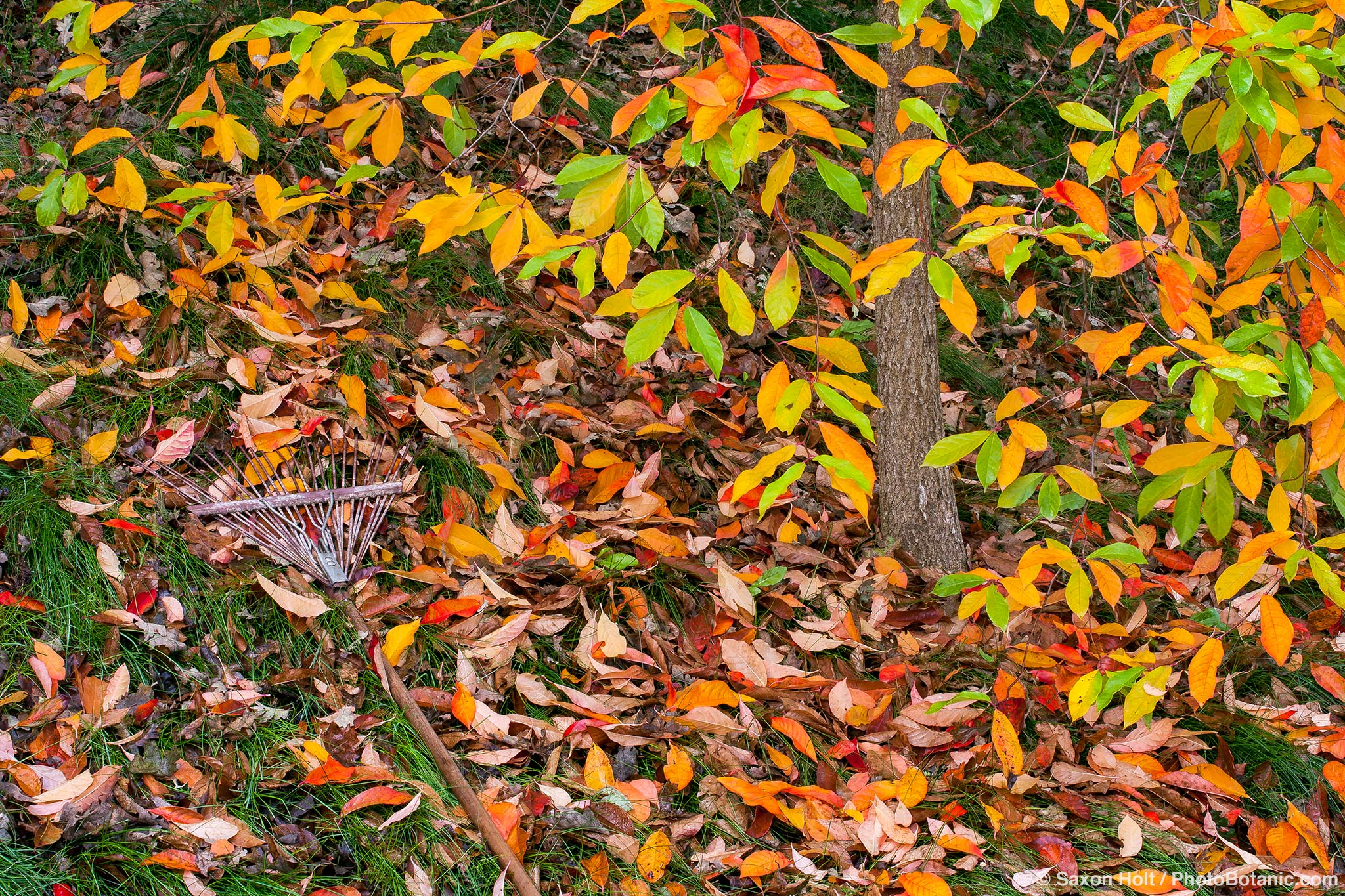 Rake in the fall leaf foliage, tupelo tree (Nyssa sylvatica) in California garden