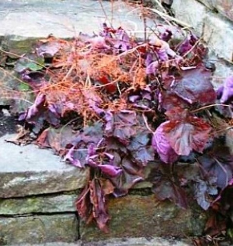 2011-01-01-15-54-55-1-jpg-heuchera-palace-purple-in-winter-1-final-edit