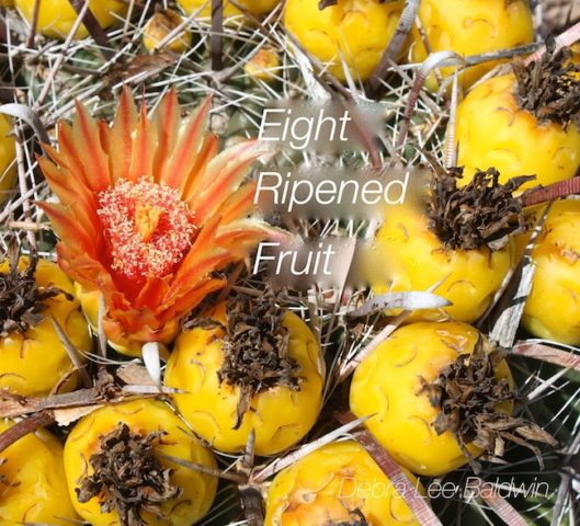 8-ripened-fruit_a_2_r