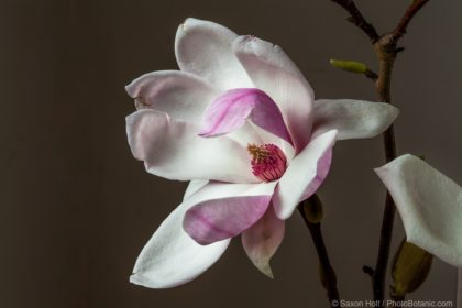 Magnolia soulangeana – Portrait Session